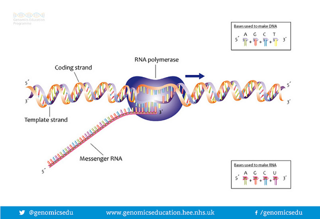 Difference between transcription and reverse transcription key difference transcription vs reverse transcription maxwellsz
