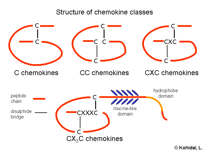 Key Difference Between Cytokines and Chemokines