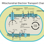 Difference Between Electron Transport Chain in Mitochondria and Chloroplasts