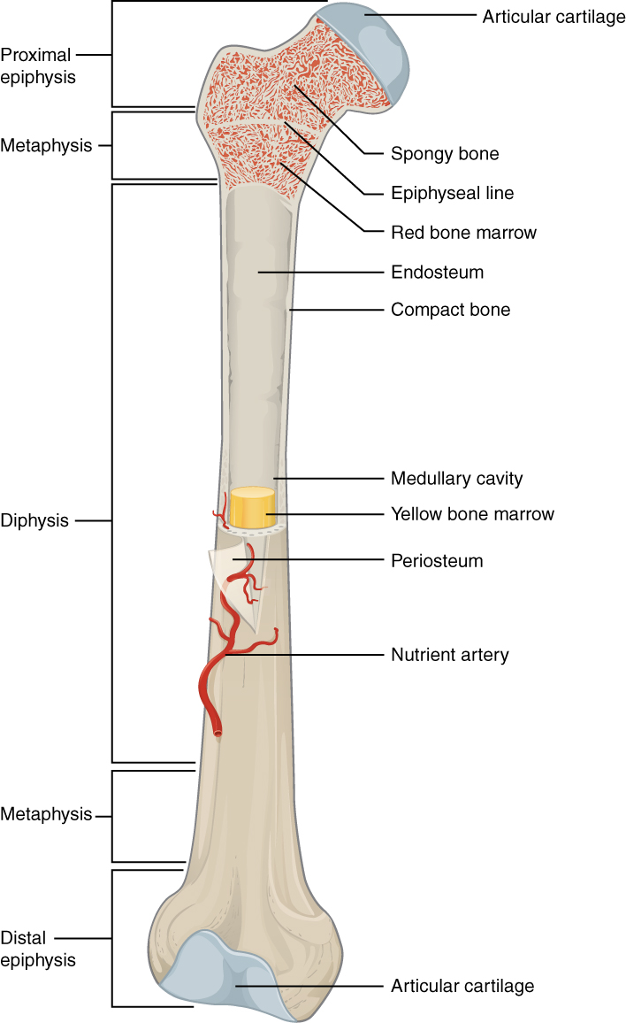 Difference Between Epiphysis and Diaphysis | Epiphysis vs Diaphysis