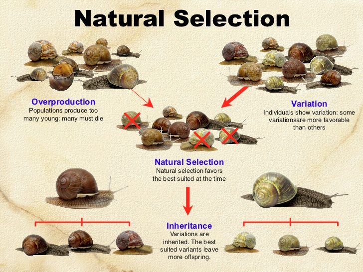 darwinism and natural selection Charles darwin & the origins of natural selection who is charles darwin & what  did he do what is natural selection & how does it work how does natural.