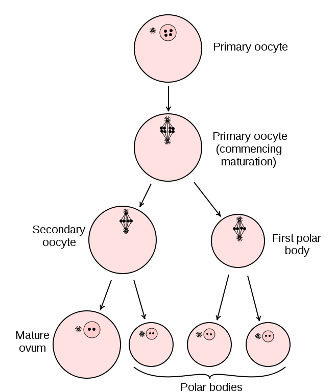 Key Difference Between Male and Female Gametogenesis