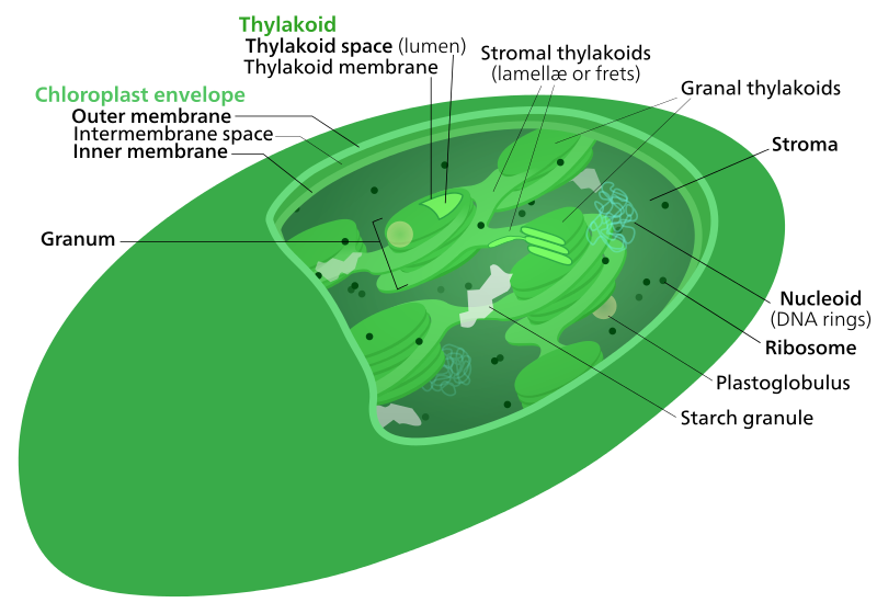 Key Difference Between Thylakoid and Stroma