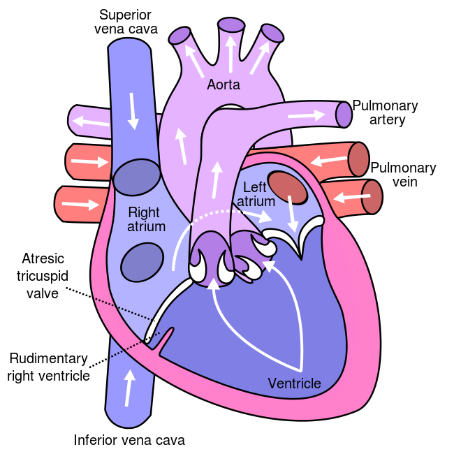 Key Difference Between Bicuspid Valve and Tricuspid Valve