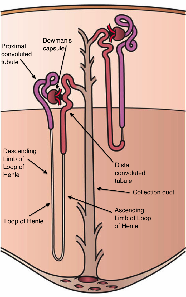 Difference Between Cortical Nephron And Juxtamedullary
