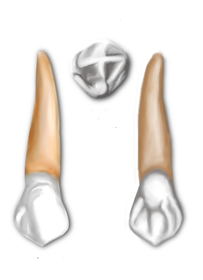 Difference Between Maxillary and Mandibular Canine