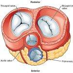 Difference Between Mitral Valve and Aortic Valve