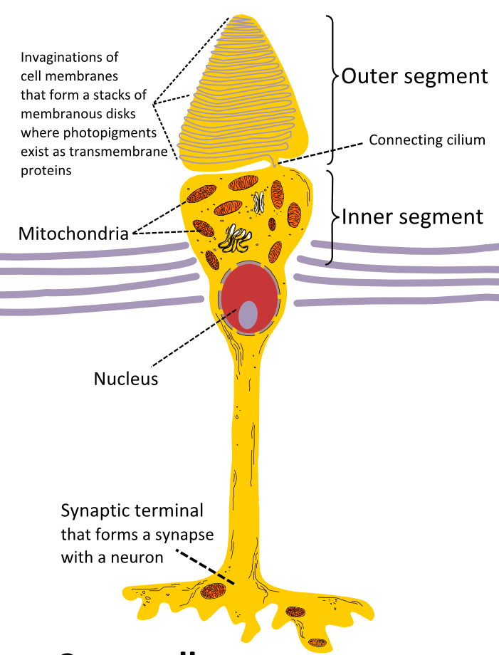 Difference Between Rod And Cone Cells L Rod Vs Cone Cells