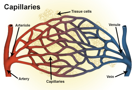 Difference Between Sinusoids And Capillaries L Sinusoids
