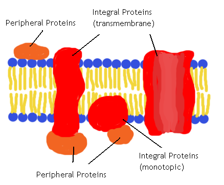 Key Difference Between Transmembrane and Peripheral Proteins