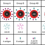 Difference Between A and B Antigens