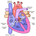 Difference Between Aorta and Vena Cava