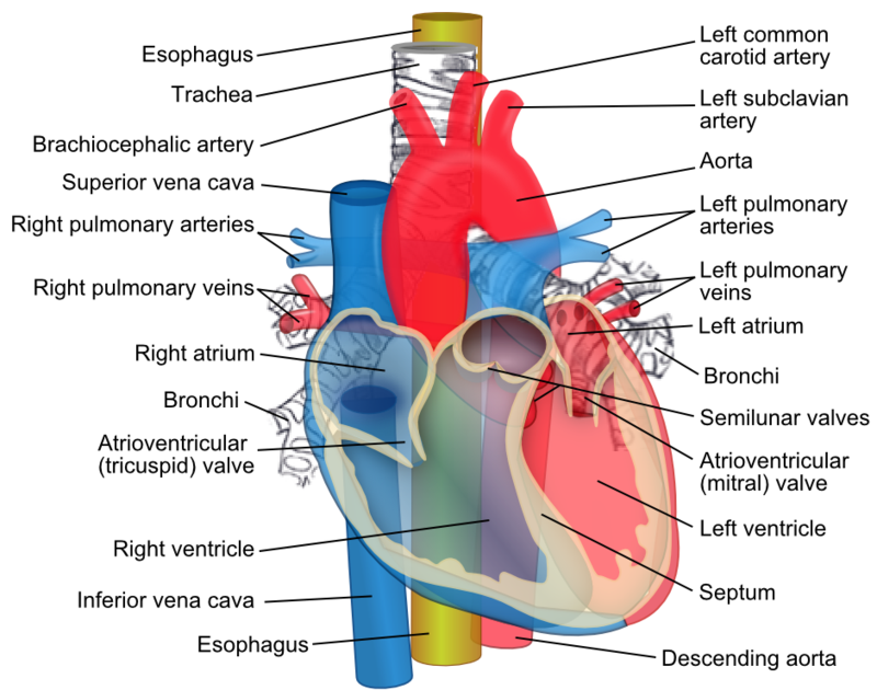 Key Difference Between Aorta and Vena Cava