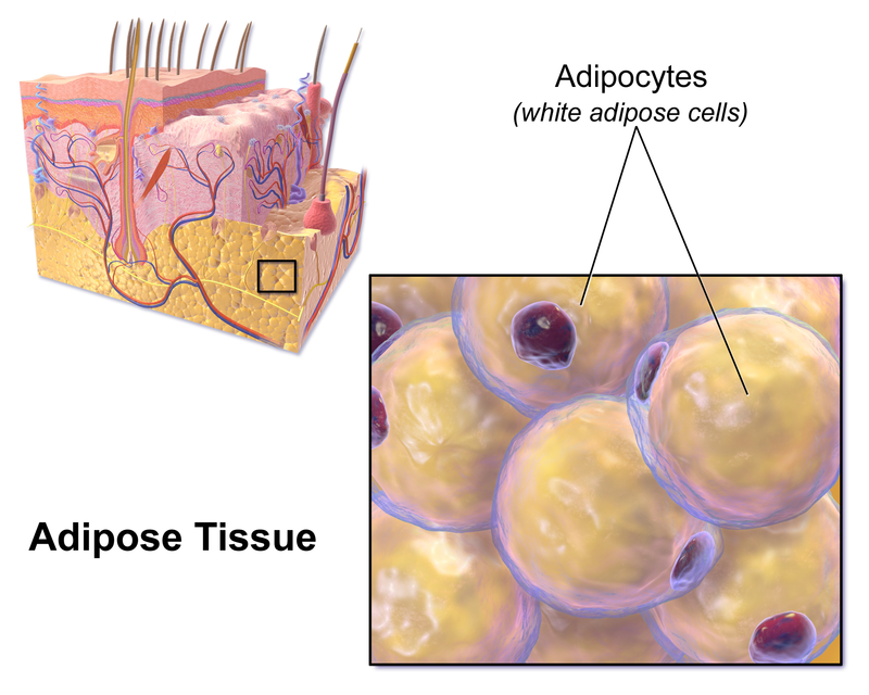 Key Difference Between Areolar and Adipose Tissue