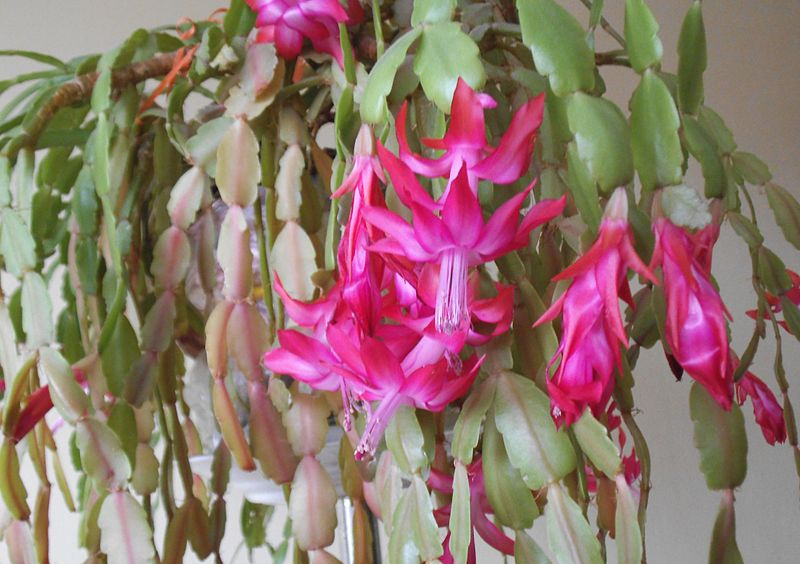 Difference Between Christmas and Easter Cactus