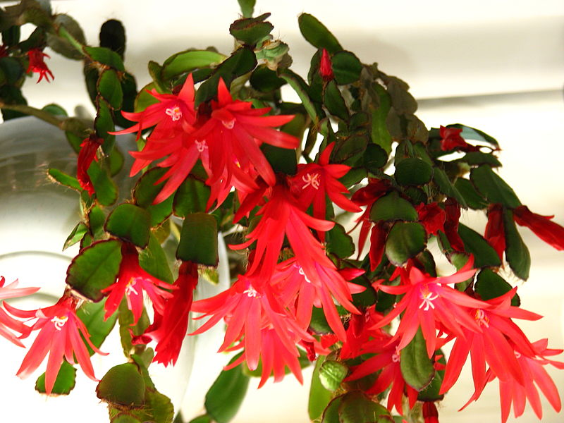 Key Difference Between Christmas and Easter Cactus