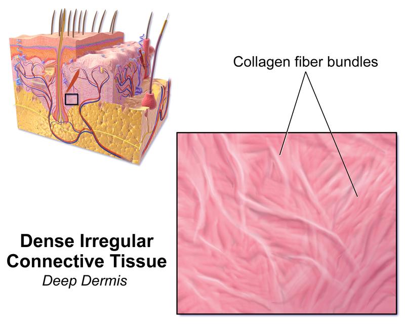 Difference Between Dense Regular And Dense Irregular Connective