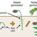 Difference Between Epigeal and Hypogeal Germination
