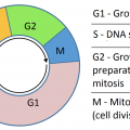 Difference Between G1 and G2 phase of Cell Cycle