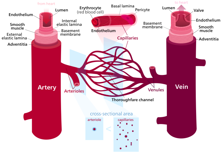 Key Difference Between Nerves and Blood Vessels