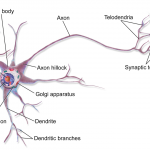 Difference Between Neurons and Neurotransmitters