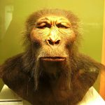 Difference Between Paranthropus and Australopithecus