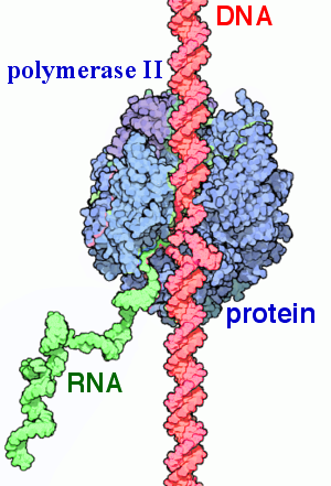 Key Difference Between Prokaryotic and Eukaryotic RNA Polymerase