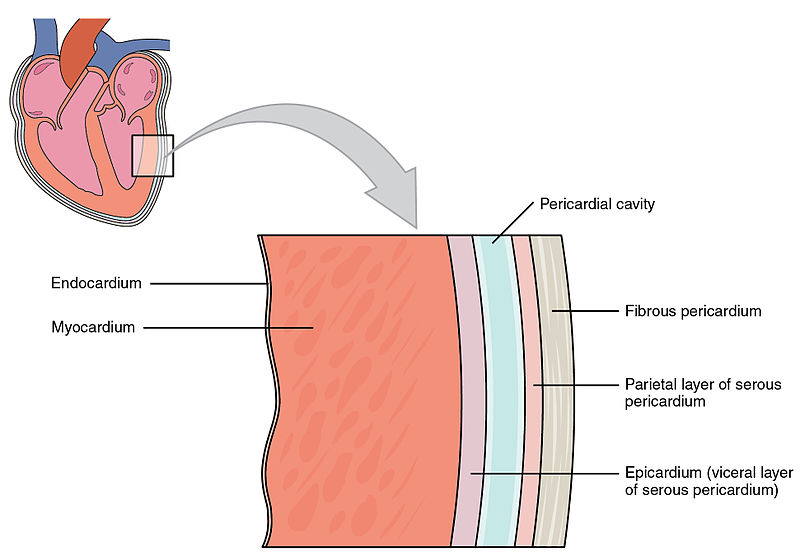 Key Difference Between Visceral and Parietal Pericardium