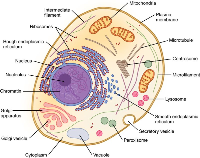 Difference Between Cell Organelles and Cell Inclusions
