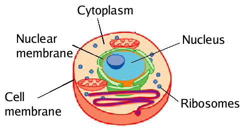 Difference Between Cytoplasm and Cytoskeleton