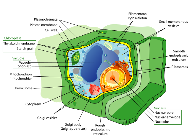 Key Difference Between Cytoplasm and Cytoskeleton
