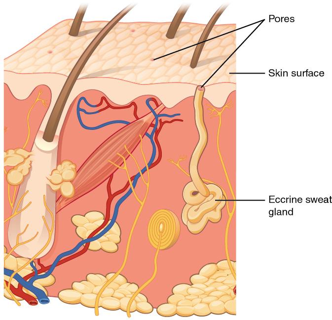 Difference Between Eccrine and Apocrine l Eccrine vs Apocrine