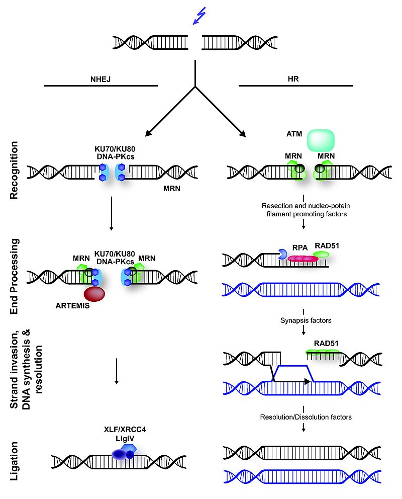 Difference Between Interchromosomal and Intrachromosomal Recombination