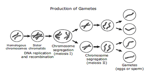 Key Difference Between Meiosis and Gametogenesis