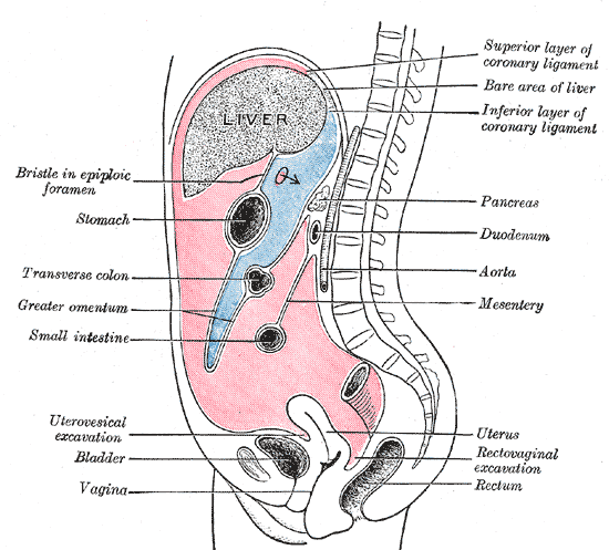 Key Difference Between Omentum and Mesentery