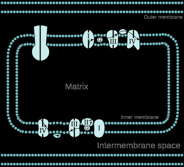Difference Between Oxidative phosphorylation and Photophosphorylation