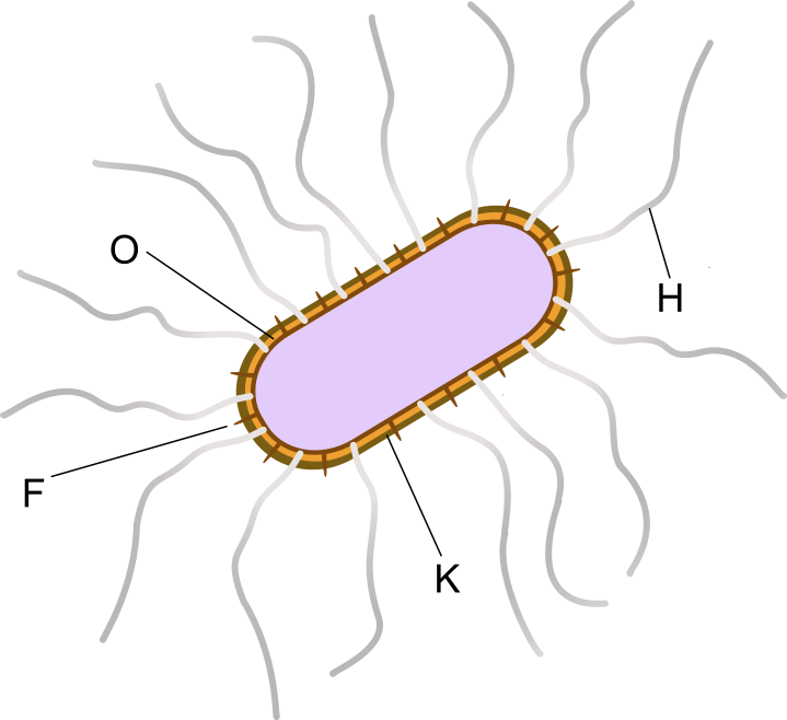 Key Difference Between Pseudomonas Aeruginosa and Enterobacteriaceae