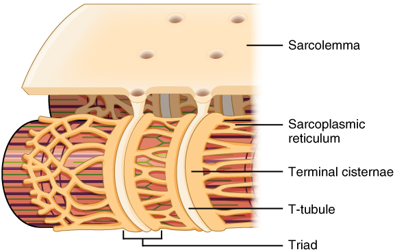 Key Difference Between Sarcolemma and Sarcoplasmic Reticulum