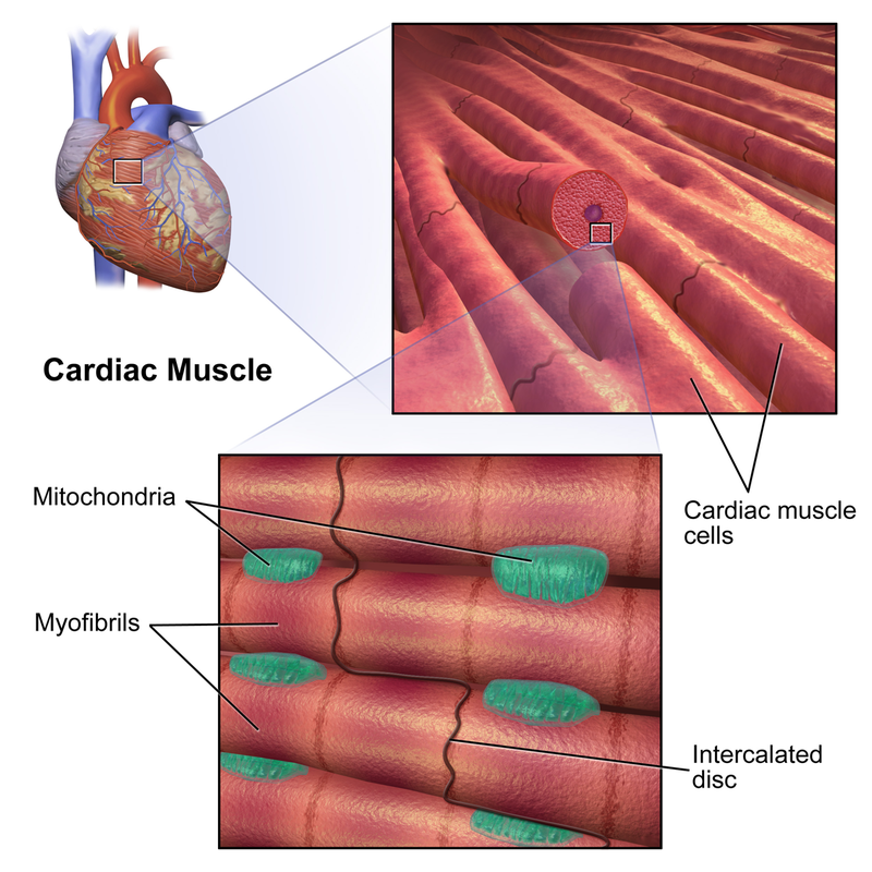 Key Difference Between Striated Non Striated and Cardiac Muscles