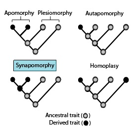 Difference Between Synapomorphy and Symplesiomorphy