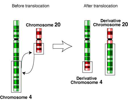 Difference Between Translocation and Crossing Over