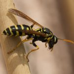 Difference Between Wasp and Hornet Sting
