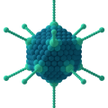 Difference Between Adenovirus and Retrovirus