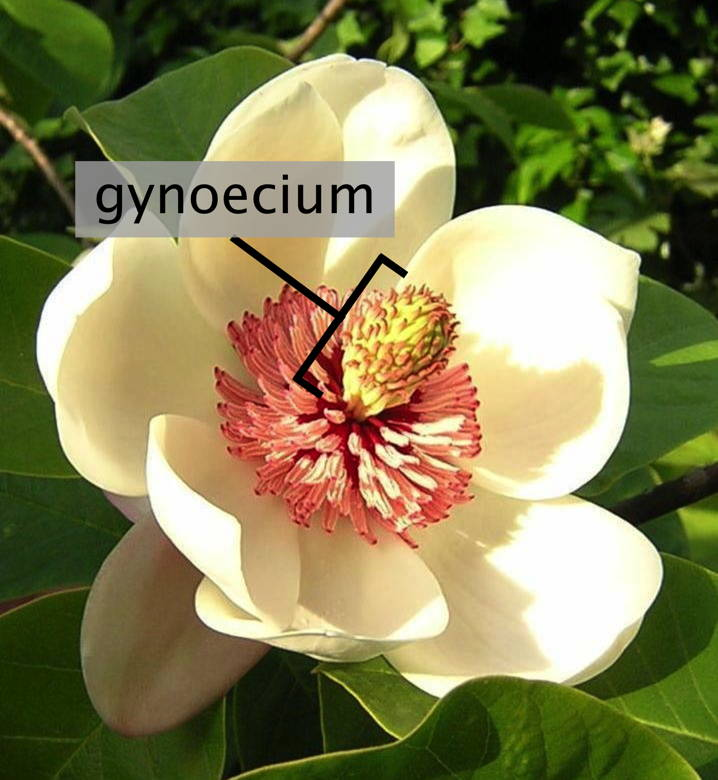 Key Difference Between Androecium and Gynoecium