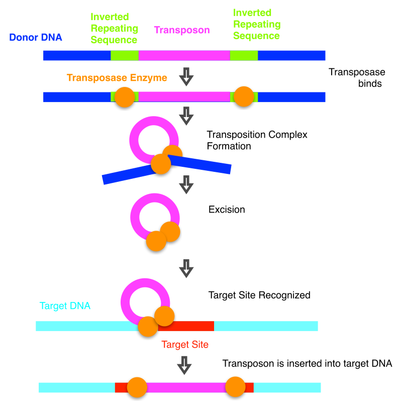 Difference Between Bacterial Transposases and Retroviral Integrases