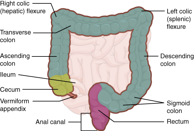 Difference Between Cecum and Appendix