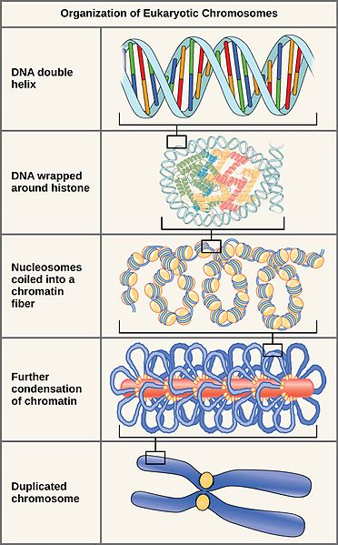 Key Difference Between Chromatin Fiber and Chromosome