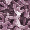 Difference Between Lactobacillus and Bifidobacterium