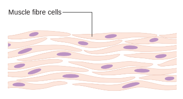 Difference Between Muscle Cells and Nerve Cells