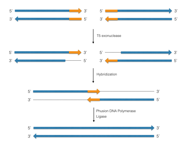 Difference Between Phusion and Taq polymerase